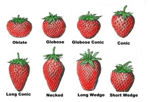How To Grow Your Own Strawberries The House Shop Blog